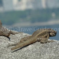 lizard-overlooking-rio-de-janeiro-from-the-summit-at-sugar-loaf